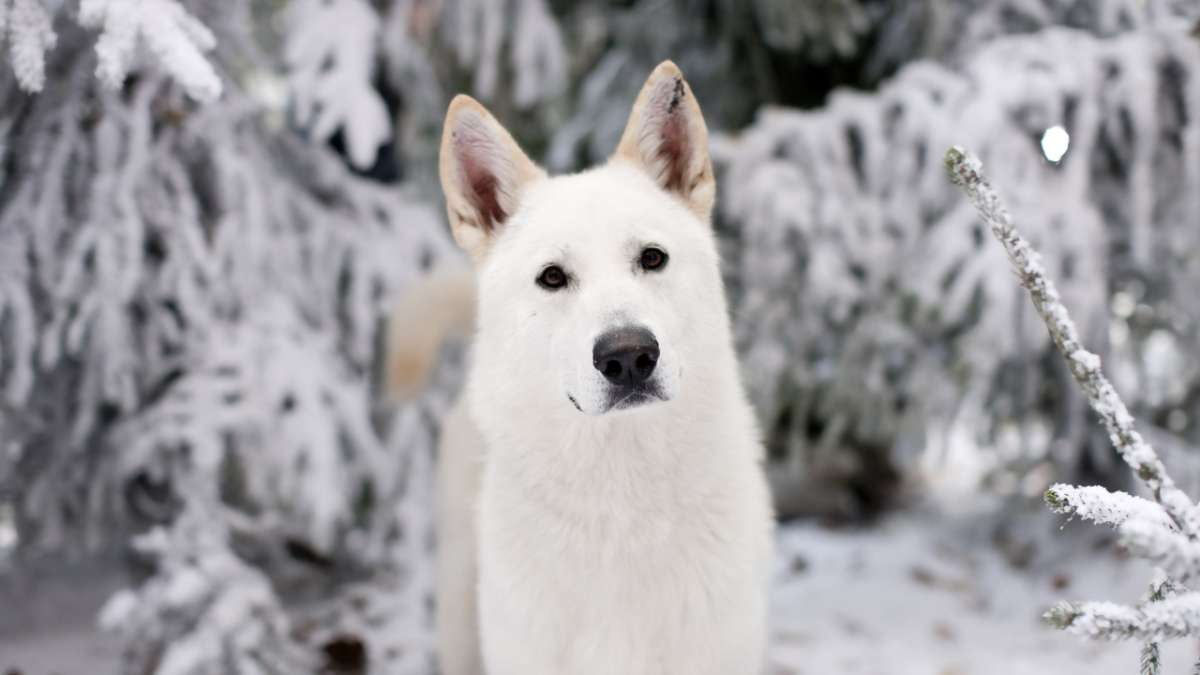 Ghost Jon Snow's dog