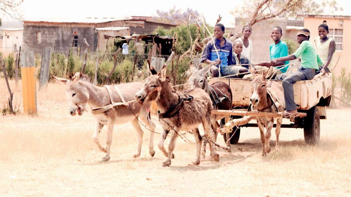 Kids on cart pulled by donkeys